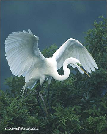 """Great Egret Landing"""