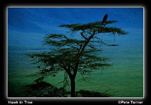 Hawk in Tree by Pete Turner